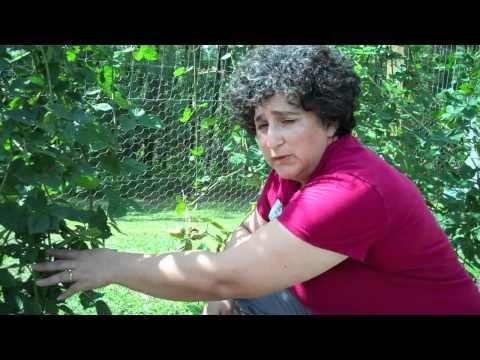youtube how to grow blackberries