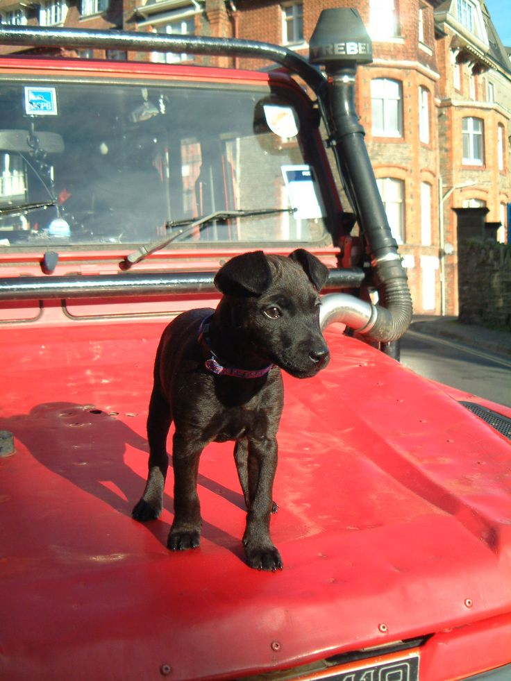 Strop - cute pup, now a typical Patterdale causing chaos wherever she goes. boy…