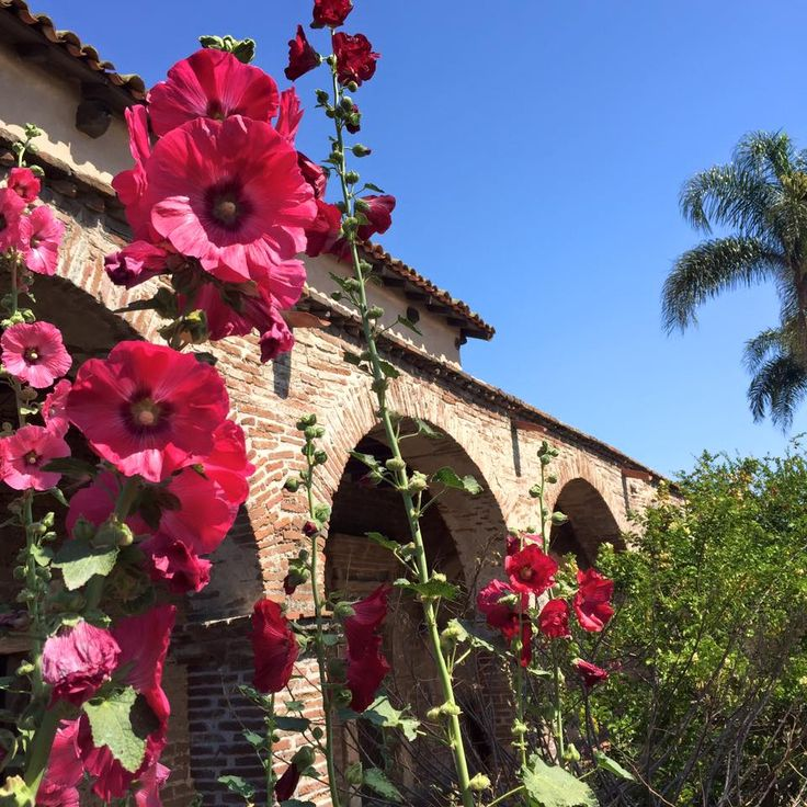 The Hollyhocks In The Garden At Mission San Juan Capistrano