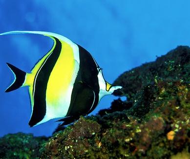 moorish idol fish hawaii