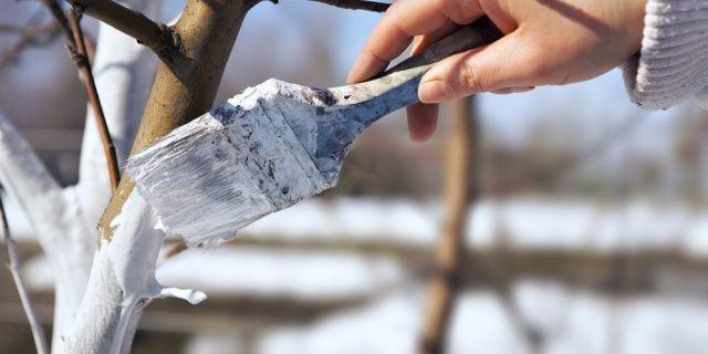 Ochraňte ovocné stromy před mrazem, může je zničit