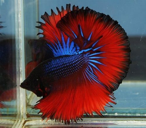 Another HalfMoon #Betta with amazing colors #AquariumTalks #BettaFish #Pets #Fish #FishTank https://t.co/Mu6sJFmPAM