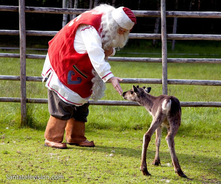 Santa Claus taking care of a baby reindeer in Lapland in Finland in summer