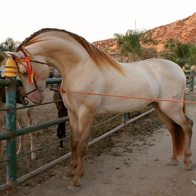DON DIVO Tel o WhatsApp (818)335-2735 USA Potros En Venta  #horses #horse  #caballo #caballos #cheval #pferd #cavalo #cavallo #equus