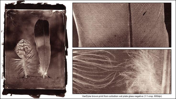 VanDyke print from collodion wet plate glass negative (18x24cm) http://blenditak.blogspot.hu/2017/06/madartollak-feathers-vandyke-brown-print.html