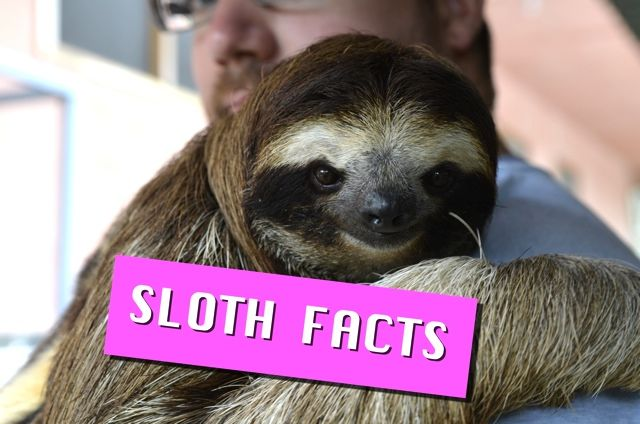 Image result for funniest sloth facts