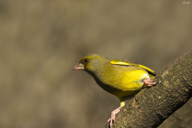Verdilhão, European Greenfinch (Carduelis chloris)