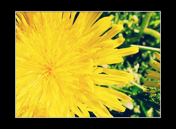 Dandelion by M-Curiosity