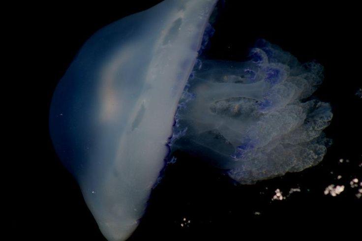hermosa medusa fotografıa manuel gonzalez