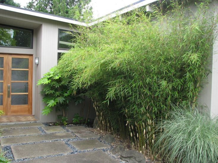 Non-invasive clumping bamboo near a front entrance