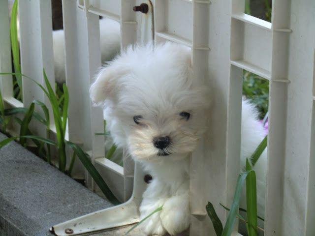 Bichon Maltes: origen, cuidados, precio,  perro, características, alimentación, imágenes y vídeos: Personalidad de Nuestro Bichón Maltés