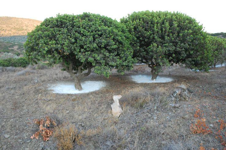 Sakız adasındaki sakız ağaçları