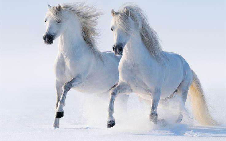 二つの白い馬、冬、雪 壁紙 - 2560x1600