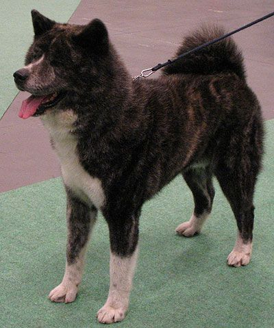 Japanese Akita dog