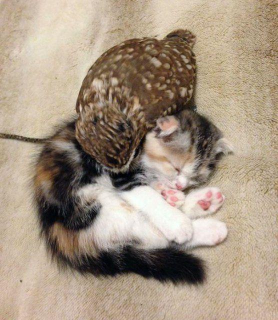 Prietenie neobisnuita: un pui de pisica si unul de bufnita devin de nedespartit