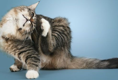 Common Cat Skin Problems - Signs and Treatment
