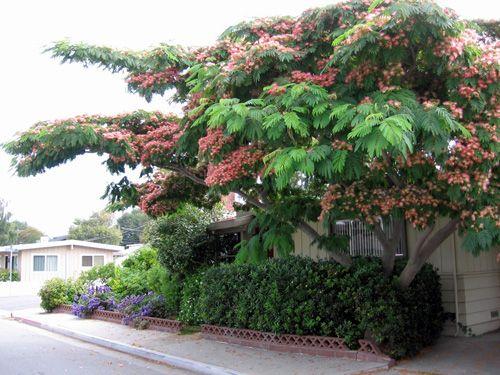 Albizzia julibrissim Persian Silk Tree....a nitrogen fixer....SilkTree02