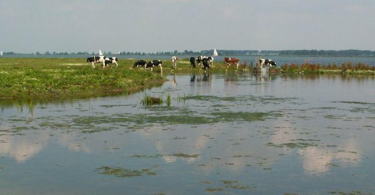 Landscape with cows - Den Bommel, Zuid-Holland (Goeree-Overflakkee), Netherlands