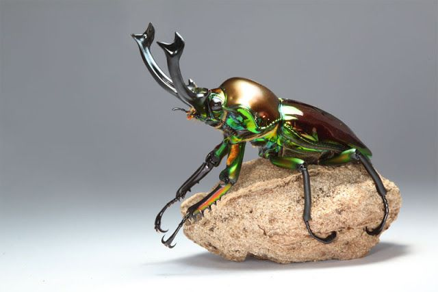 O magnífico escaravelho do arco-íris ~ Hoje Descobri...