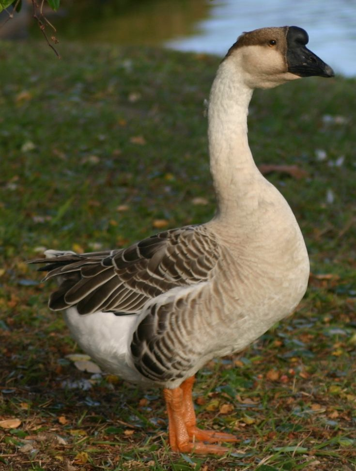 swan mature personals The trumpeter swan has a large,  newfoundland dating to 2,000 bce he cited historical observer records of what must have been breeding trumpeters, .
