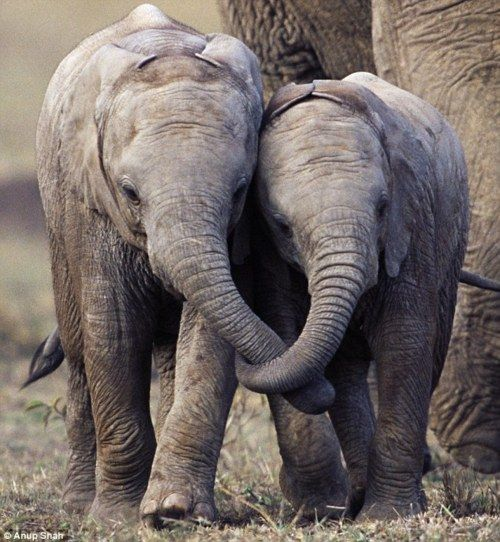 elephant buddies: African Elephant, Baby Elephant, Animal Pictures, Best Friends, Inspiration Pictures, Baby Animal, Elephant Baby, Animal Photos, Holding Hands