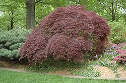Click to view large photo of Tamukeyama Japanese Maple (Acer palmatum 'Tamukeyama') at Stein's Garden
