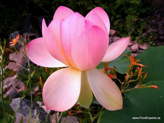 Carolina Queen Lotus Flower Day 3