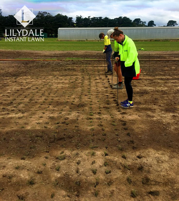 Sir Grange Planting - Yarra Glen Farm - Check out our turf farms | Lawn Supplier | Instant Turf |Sir Walter Buffalo DNA Certified | Lawn Solutions Australia | Online Store | Local Pick up & Delivery | Lawn Care | Turf Farm | Melbourne | Victoria | Garden | Grass Lilydale Instant Lawn Care | Love your lawn | Great grass | Lily & Dale | Follow us | Garden Tips & Advice | Contact us | Lawn Solutions Australia
