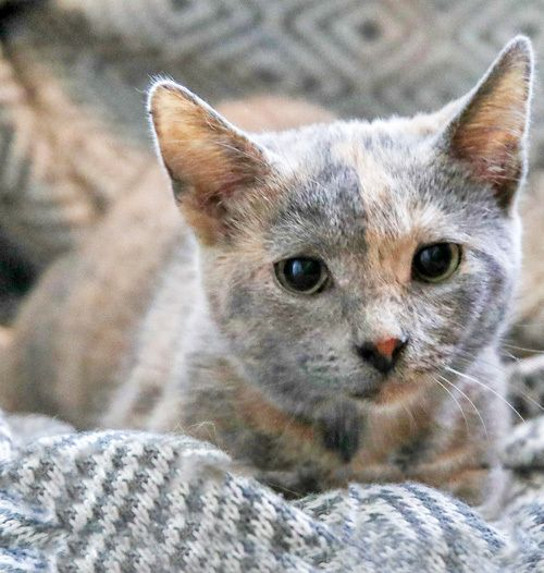 Holly: Sweet & Spunky Dilute Tortie is an adoptable dilute tortoiseshell searching for a forever family near Brooklyn, NY. Use Petfinder to find adoptable pets in your area.