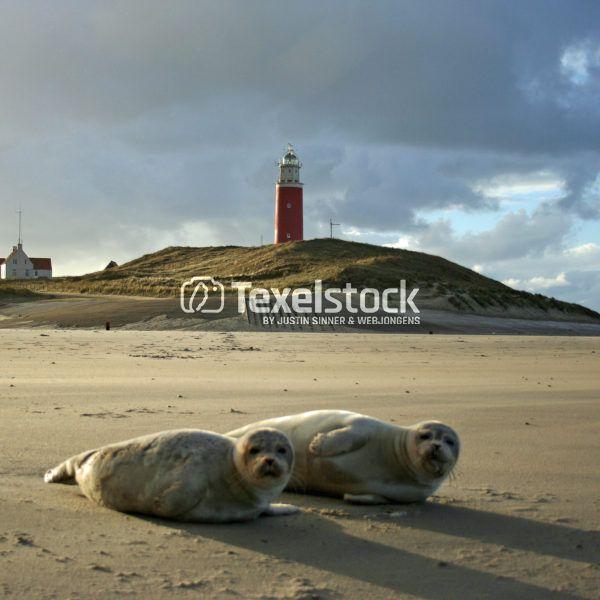 Zeehondjes op het Texelse strand