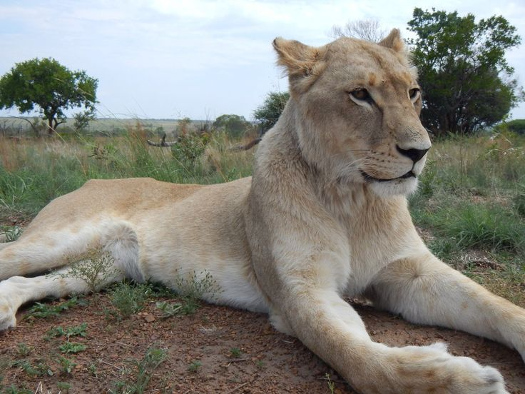 south africa animal lion 16