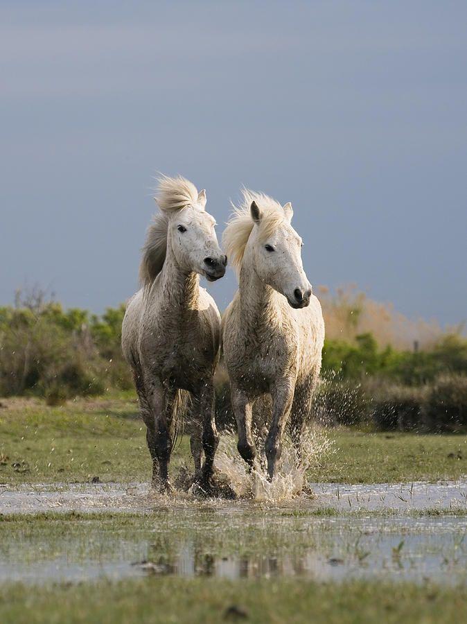 Camargue Horse Equus Caballus Pair   Beautiful, Horses and ...