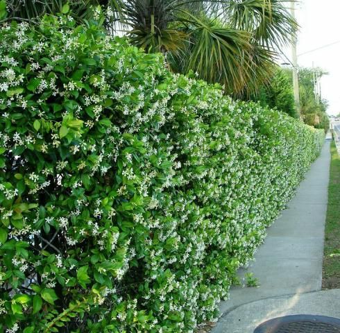 17 Best Images About Garden Vines Fast Growing On