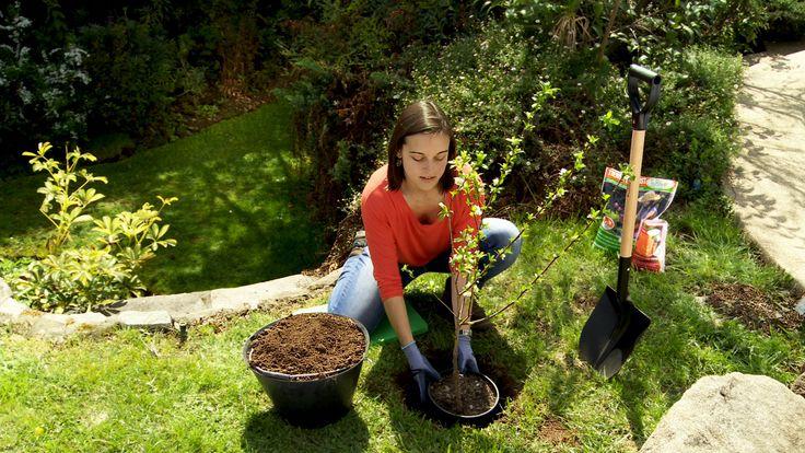 Hágalo Usted Mismo - ¿Cómo plantar y secar Stevia?