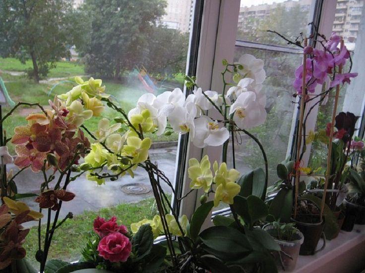 Väčšina žien si myslí a dobre vie, že orchidea je rozmarný a trochu náročnejší kvietok na starostlivosť. Keď však prídem k mojej starej mame, a to aj teraz v januári, všetky jej orchidey sú rozkvitnut