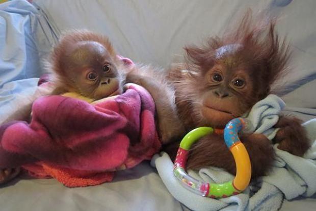 Rieke and Bulu Mata at Monkey World