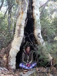 bodhi ağacı -