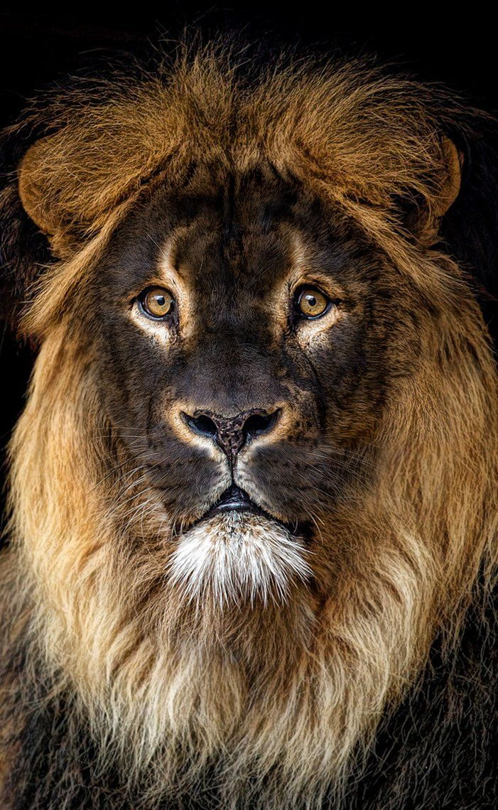 BLACK LION by LEVIATAN-666.deviantart.com on @DeviantArt