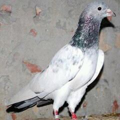 3 Ways to Train a Homing Pigeon - wikiHow