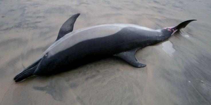 De nombreux cadavres de dauphins se sont échoués sur les plages de Charente-Maritime ces derniers jours. Saint-Trojan, La Tremblade, Les Portes-en-Ré... Les macabres découvertes se sont multipliées ces derniers jours dans le département. Février 2016