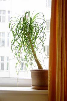Beaucarnea pied d 39 l phant plantes vertes et fleurs pinterest pieds plantes et plantes - Plante verte appelee pied d elephant ...