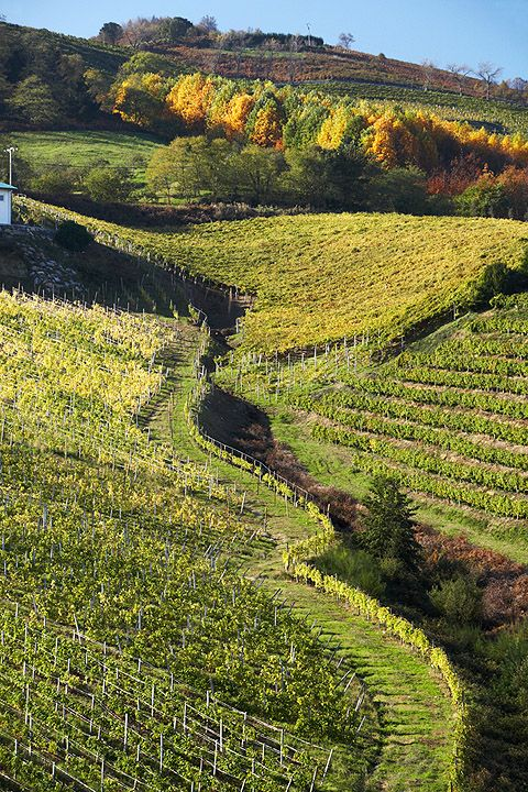 Basque Country, Gipuzkoa, Getaria, Txakoli Vineyards © Inaki Caperochipi Photography