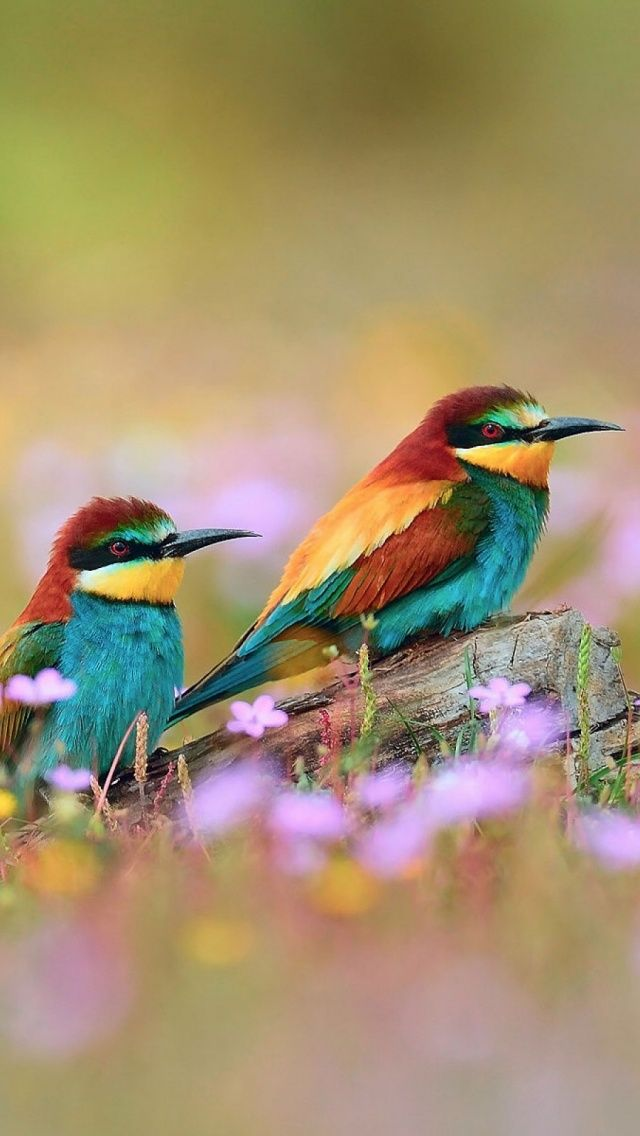 Love Birds Wallpaper For Iphone : 391 best images about Mobile Wallpapers on Pinterest Iphone 5 wallpaper, cats and Owl bird