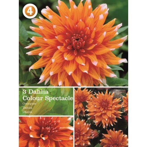 Vårløk Dahlia Cactus Colour Spectacle