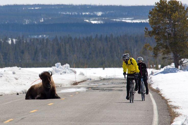 "Cyclists mantra of ""share the road"" takes on a whole new meaning in Yellowstone National Park.As the park opens to cyclists this spring, sharing the road is not limited to cars and bikes. The park's wildlife often wanders onto roadways, making for some unusual encounters. The bison in the above photo appears to be lying down for a spell while two cyclists glide past in amazement. Bicyclists willing to brave the unpredictable elements of spring in Yellowstone are allowed to travel ..."