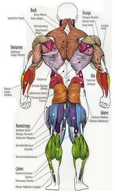 Majro-Muscle-of-the-Human-Body-Posterior.jpg (376×640)