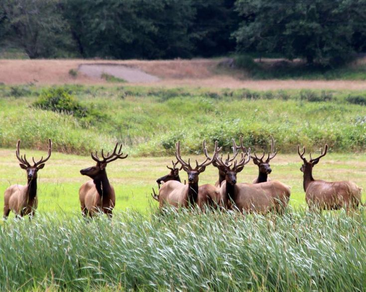Roosevelt elk near Reedsport, Oregon. These elk were named for Theodore Roosevelt, who worked to bring them back from the brink of extinction in the early 1900s. At that time there were as few as 12 left. Photo by Jane Randolph Brown.