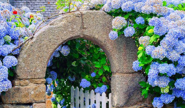 Een blauwe hortensia gekocht? Zorg er dan voor dat hij in zure grond staat, die ook ijzer en vooral aluminium bevat.