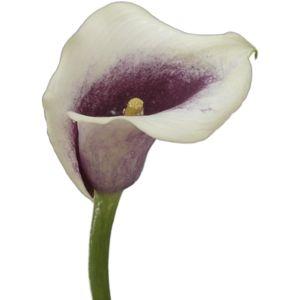 FiftyFlowers.com - Cream Purple Mini Calla Lily