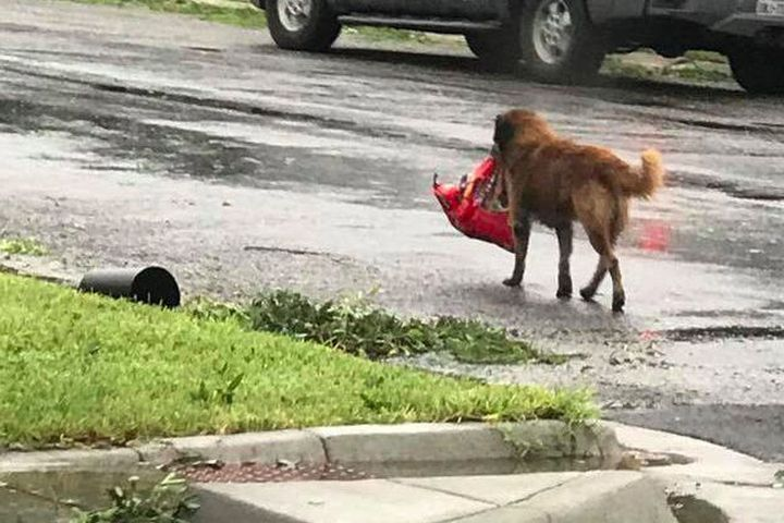 "A dog named Otis wasn't about to go hungry during Hurricane Harvey.  As the hurricane made landfall, a dog was spotted wandering around Sinton, Texas carrying a full bag of dog food.  The German shepherd mix wasn't a stray—he just got loose from a screen porch.  ""I kept yelling his name"